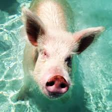 6 tips for visiting the swimming pigs of exuma angie away
