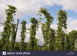 humulus lupulus growing hops in a hop yard in worcestershire