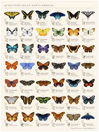 an animated chart of 42 north american butterflies from