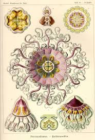 123 best haeckel images on pinterest ernst haeckel nature and
