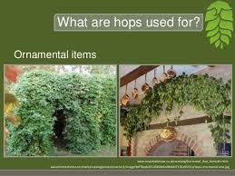 hops a brewing industry elford