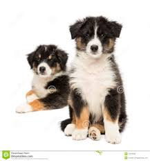 t shirt australian shepherd front view of australian shepherd puppies stock image image