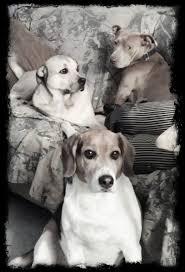 pug x boxer dog 25 best boxer beagle mix ideas on pinterest puggle puppies