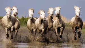 galloping horses hd wallpapers for laptop widescreen free