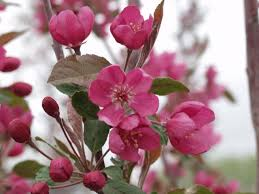 Profusion Flowering Crabapple - crabapple radiant thetreefarm com