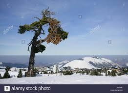 tree snow coke cocaine material anaesthetic addictive