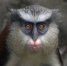 monkey faces give clues to species and individual identity wired