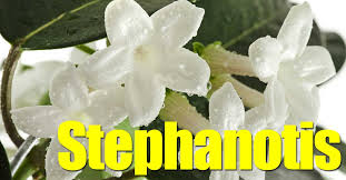 Fragrant Patio Plants - stephanotis trellis plant fragrant tubular white flower clusters