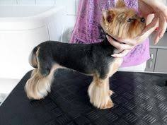 haircuts for yorkies with thin hair this is the leg line i like for ali s thin silky hair type same