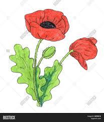 poppy flower drawing image u0026 photo bigstock