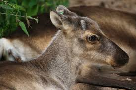 10 beautiful animals you u0027ll find in finland