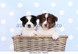 australian shepherd 16 weeks australian shepherd puppies baby stock photos u0026 australian