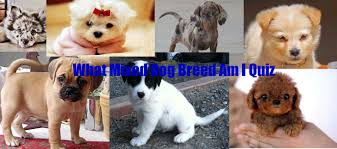 australian shepherd quiz which mixed dog breed is your personality quiz youtube