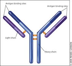difference between kappa and lambda light chains lon nesseler myelomablogs org