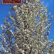 product categories flowering pear tree
