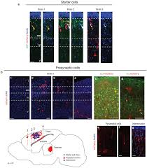 What Is Interneuron Sensory Inputs Control The Integration Of Neurogliaform