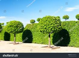 Elephant Topiary Round Shaped Topiary Green Trees Hedge Stock Photo 383483533