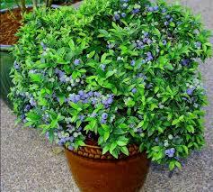 mirtillo in vaso coltivare la propria pianta di mirtillo piccoli frutti con grandi