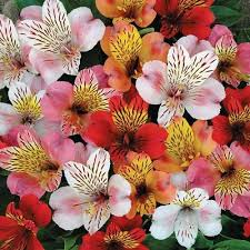peruvian lilies peruvian hybrid mix flower seeds the sun seeds