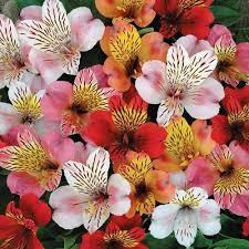 alstroemeria flower peruvian hybrid mix flower seeds the sun seeds