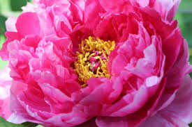 Peony Flower Digital Photography Tree Peony Flower Closeup