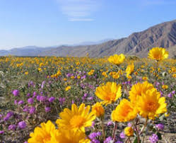 anza borrego desert flowers where and how to find southwestern desert wildflowers rv travel
