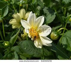 Seeking Honey Popular Free Bee Seek Honey On A Flower In The Photos