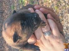 belgian malinois import pup for sale belgian malinois puppies for sale