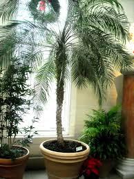 best indoor trees outstanding best indoor palms 147 pots for indoor palms alexander