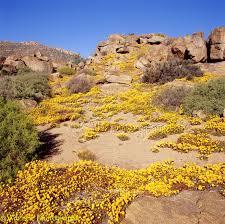 desert flowers at nababeep photo wp04598