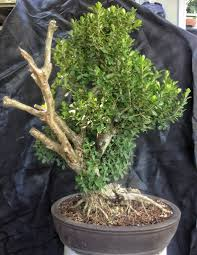 it u0027s about time you styled that boxwood into a bonsai adam u0027s