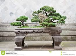 bonsai pine tree royalty free stock photo image 34866745