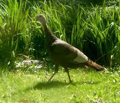 Rhode Island wild animals images Wild turkeys in suburban rhode island jpg
