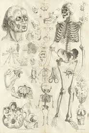 Right Side Human Anatomy Engraving Showing A Large Facing Standing Skeleton On The Right