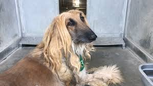 afghan hound job afghan hounds seized in phelan investigation available for