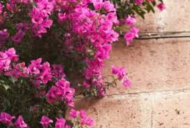Bougainvillea Topiary - the best time to transplant a mature bougainvillea home guides