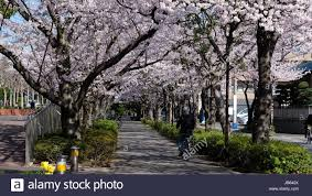 road with rows of blooming cherry blossom trees on both side in