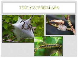 turf and ornamental pest