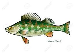 freshwater fish type freshwater fish royalty free cliparts vectors and stock