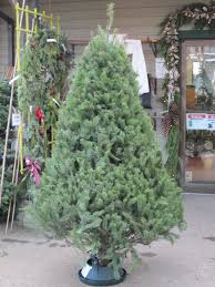 ft fresh cut noble fir tree with stand in