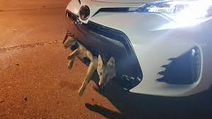 lexus of calgary facebook coyote survives 20 mile journey trapped in a toyota corolla u0027s
