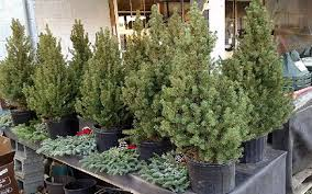 live trees at hemphills nursery and garden center in