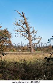 an dead and decaying oak tree in sherwood forest during