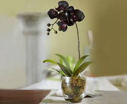 black orchid flower 61 best black orchids images on black orchid black