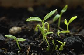 growing parsley seeds how can parsley be grown from seeds