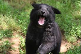 belgian sheepdog puppy herding group puppies on akc marketplace you u0027ll be unable to