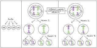 the chromosomal basis of inheritance article khan academy