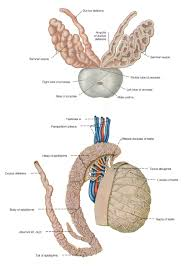 Male External Anatomy The Male Reproductive System Anatomy And Physiology