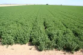 pros cons of subsurface drip irrigation in western alfalfa