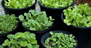 container herb gardening healthy living herbs